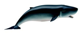 Collecta Sea Life-Pygmy Sperm Whale-M